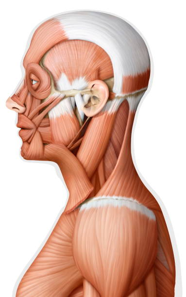Muscle of the head and neck lateral view Pictures | Getty Images