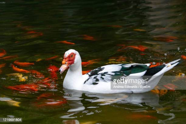 muscovy duck - cairina moschata - and gold coloured carp fish - muscovy duck stock pictures, royalty-free photos & images
