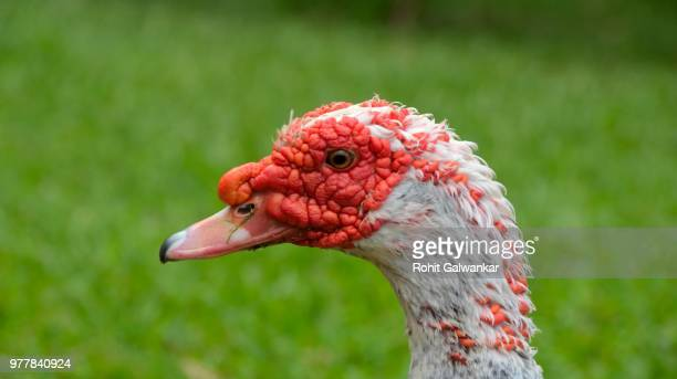 muscovy duck - muscovy duck stock pictures, royalty-free photos & images