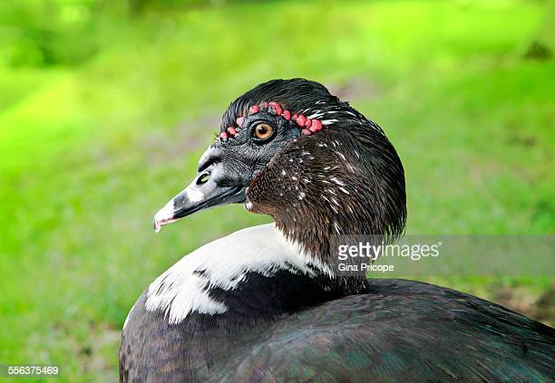 muscovy duck portrait - muscovy duck stock pictures, royalty-free photos & images