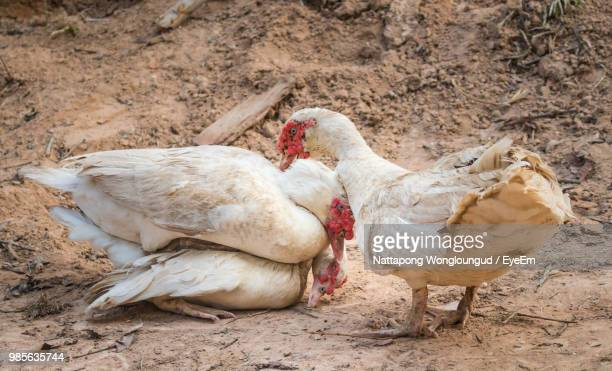 muscovy ducks on dirt road - muscovy duck stock pictures, royalty-free photos & images