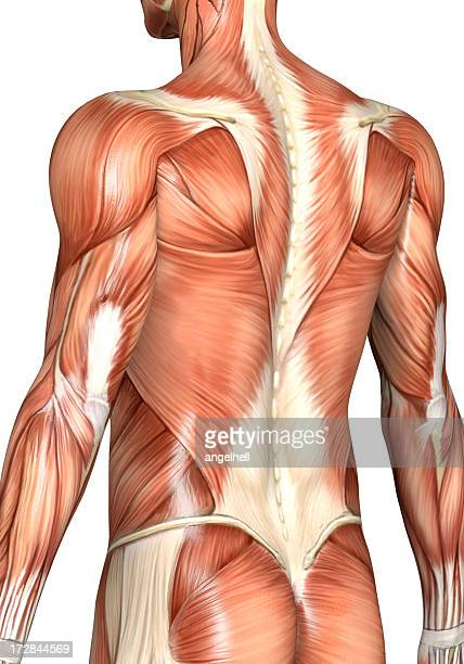 muscular back of a man - human arm stock pictures, royalty-free photos & images