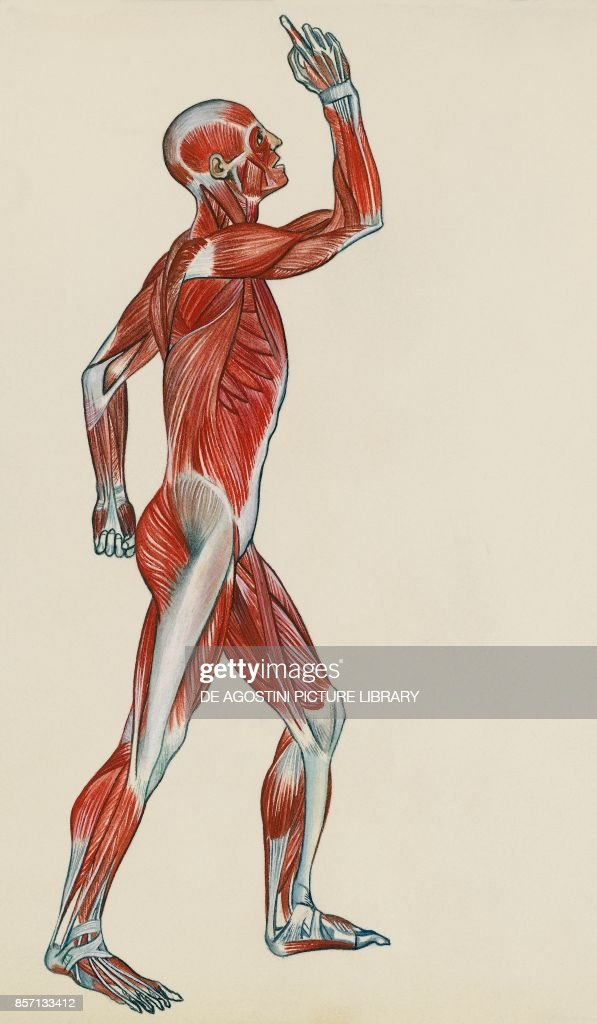 Muscular system, human body, drawing Pictures   Getty Images