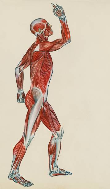 Muscular system, human body, drawing Pictures | Getty Images