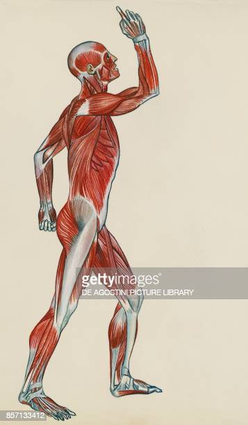 Muscular system human body drawing