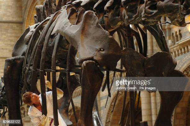 Museum conservator Lorraine Cornish cleans the 26metrelong skeletal cast of Dippy the Diplodocus for its hundredth birthday inside the museum's...
