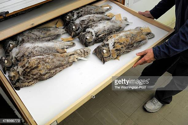 Museum specialist Brian K Schmidt shows a drawer with Great Horned Owls at Smithsonian National Museum of Natural History on Monday September 30 2013...