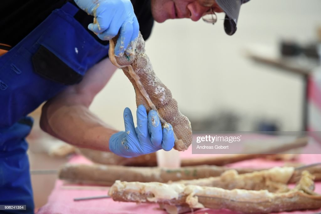 A museum worker prepares a bone of a representation of what museum officials claim is the world's biggest discovered winged dinosaur prior to its exhibition at the Altmuehltal Dinosaur Museum on March 21, 2018 in Denkendorf, Germany. Bones of the dinosaur were found in the Transylvanian region of Romania and the museum has dubbed the creature 'Dracula.' The species of the dinosaur is so far unnamed, though it is part of a class of flying dinosaurs called Pterosaurs and is approximately 66 million years old. The wingspan of the reconstructed pterosaur measures 12 meters and when standing the creature measures three and a half meters in height. Original bones of the pterosaur are displayed in a separate display cabinet at the museum. Whether this new species could actually fly is unclear.