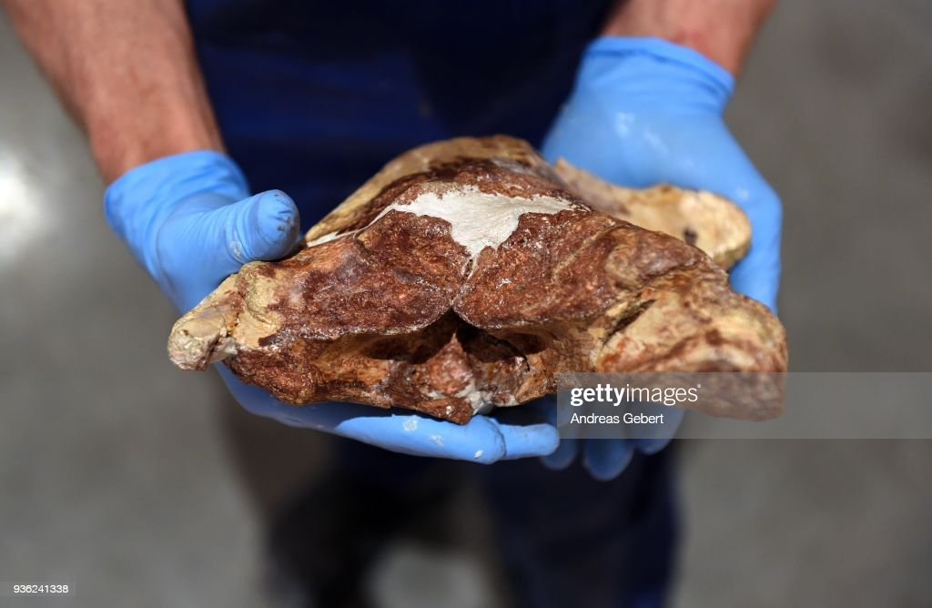 A museum worker shows an original, 66 million year old lumber vertebra of what museum officials claim is the world's biggest discovered winged dinosaur prior to its exhibition at the Altmuehltal Dinosaur Museum on March 21, 2018 in Denkendorf, Germany. Bones of the dinosaur were found in the Transylvanian region of Romania and the museum has dubbed the creature 'Dracula.' The species of the dinosaur is so far unnamed, though it is part of a class of flying dinosaurs called Pterosaurs and is approximately 66 million years old. The wingspan of the reconstructed pterosaur measures 12 meters and when standing the creature measures three and a half meters in height. Original bones of the pterosaur are displayed in a separate display cabinet at the museum. Whether this new species could actually fly is unclear.