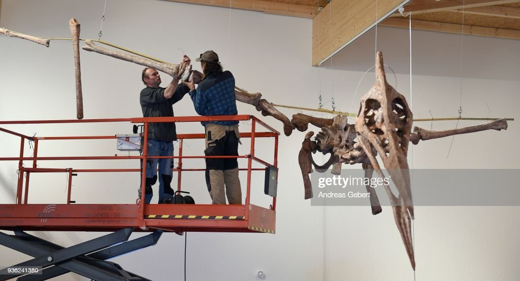 Museum workers prepare a representation of what museum officials claim is the world's biggest discovered winged dinosaur prior to its exhibition at the Altmuehltal Dinosaur Museum on March 21, 2018 in Denkendorf, Germany. Bones of the dinosaur were found in the Transylvanian region of Romania and the museum has dubbed the creature 'Dracula.' The species of the dinosaur is so far unnamed, though it is part of a class of flying dinosaurs called Pterosaurs and is approximately 66 million years old. The wingspan of the reconstructed pterosaur measures 12 meters and when standing the creature measures three and a half meters in height. Original bones of the pterosaur are displayed in a separate display cabinet at the museum. Whether this new species could actually fly is unclear.