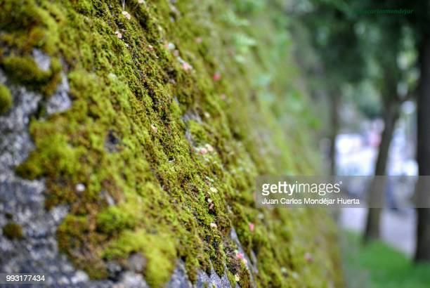 musgo y muro - muro stock photos and pictures