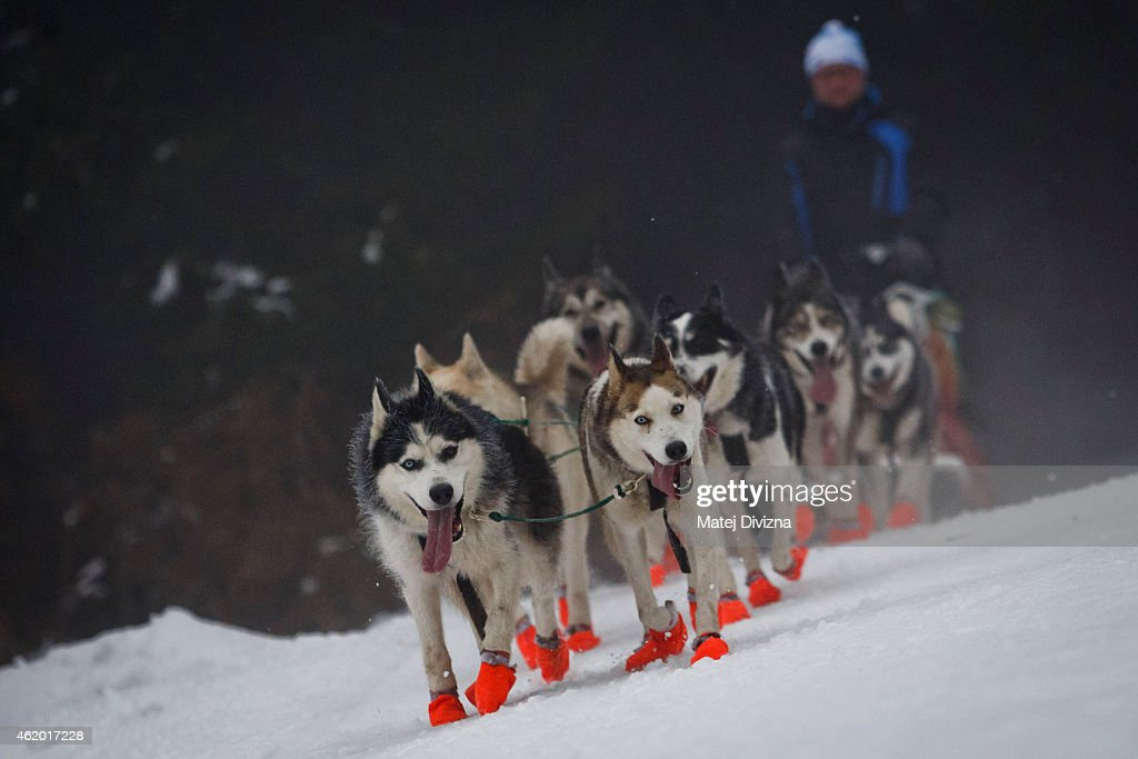 A musher competes with his dogs in The Sedivackuv Long 2015 dog sled race in the Orlicke mountains on January 23, 2015 near the village of Destne v Orlickych horach near the Czech-Polish border. The four-day Sedivackuv Long, is with 88 mushers and 500 dogs this year. The dog sled race is the longest in the Czech Republic and one of the hardest races of its kind in Europe.