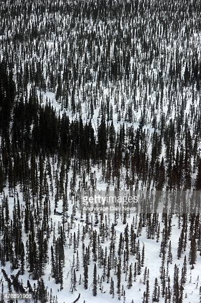 A musher drives his team through the spruce forest between the McGrath and Takotna checkpoints during the 2014 Iditarod Trail Sled Dog Race on...