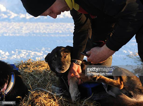 Musher Martin Buser massages the leg of his dog Caribou at the Nikolai Alaska checkpoint during the Iditarod Trail Sled Dog Race on Tuesday March 8...