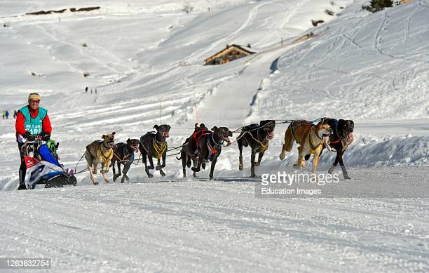 Musher with dog sled team of hunting dog crossbreeds, Haute-Savoie, France.