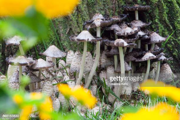 mushroom clump viewed through yellow flowers - poisonous mushroom stock photos and pictures