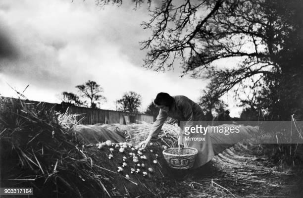 Mushroom farm at Longfield, Surrey. 28th March 1935 .
