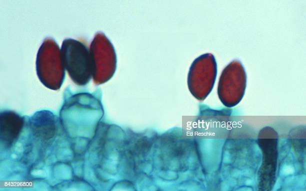 mushroom spores--basidiospores and basidium, 250x - ed reschke photography imagens e fotografias de stock