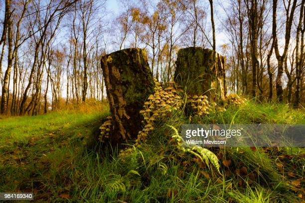 mushroom stumps - william mevissen stock pictures, royalty-free photos & images