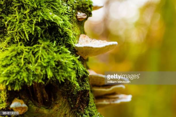mushroom tree - william mevissen imagens e fotografias de stock