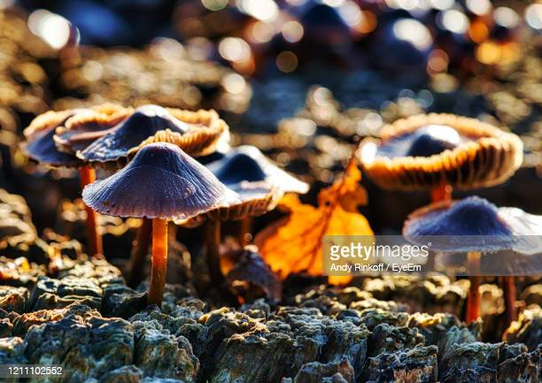 mushrooms and leaves on a frosty tree stump - andy rinkoff stock pictures, royalty-free photos & images