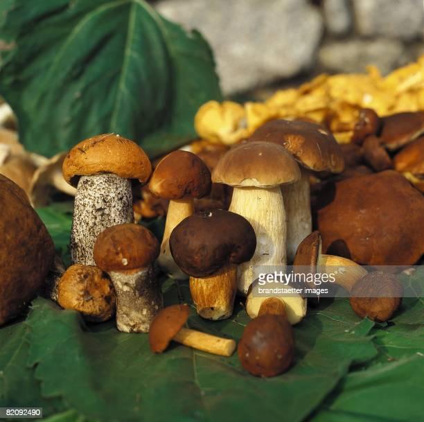 Mushrooms Ceps Chantarelles Suillus luteus Photograph Austria Around 2004 [Steinpilze Maronenrhrlinge Rotkappen und Eierschwammerl Photographie...