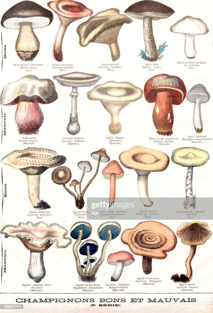 Mushrooms good and bad is an engraving representing an