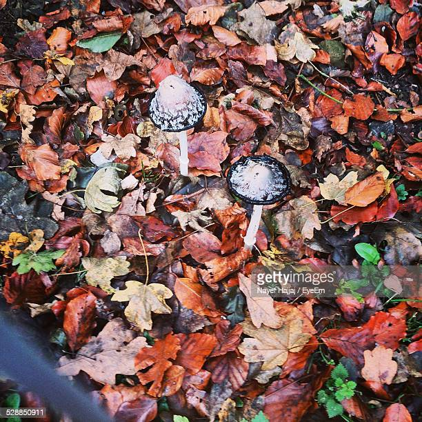 Mushrooms Growing Amidst Fallen Leaves During Autumn