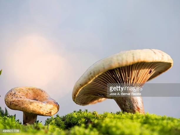 Mushrooms of the species (Lactarius sanguifluus or Lactarius  Deliciosus.)