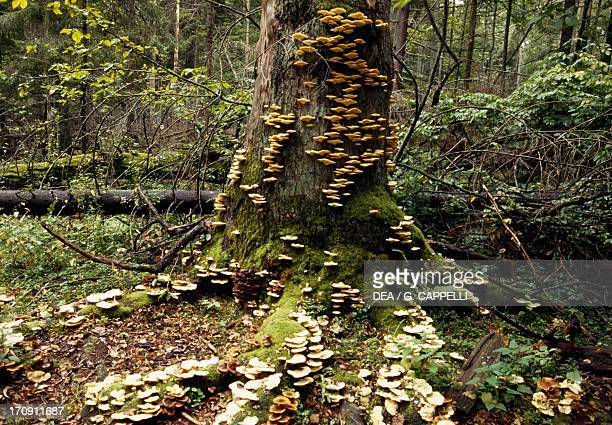 Mushrooms on a tree trunk, Bialowieza Forest National Park , Poland.