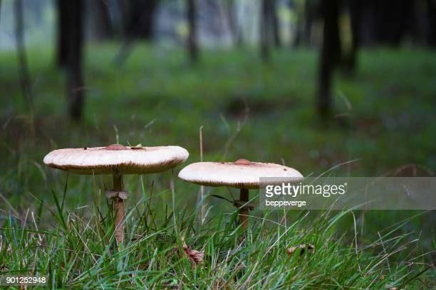 mushrooms - poisonous mushroom stock photos and pictures