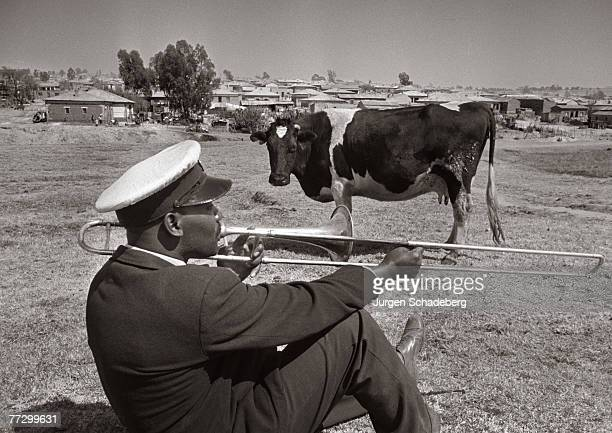 A musician from a brass band serenades a cow whilst rehearsing in the fields around Alexandra Township Johannesburg circa 1955