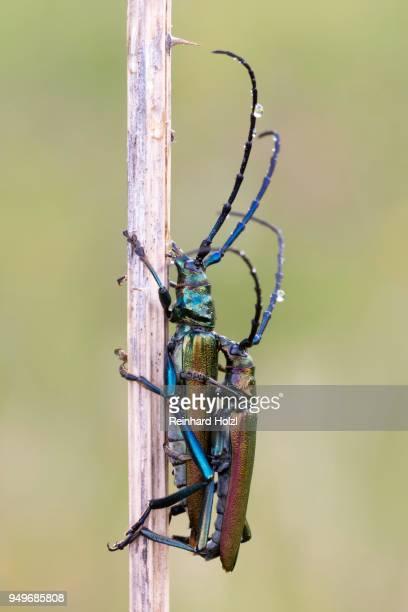 musk beetle (aromia moschata) an halm, paarung, burgenland, austria - begattung kopulation paarung stock-fotos und bilder