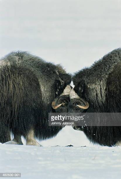 musk ox bulls head to head in snow-covered landscape, alaska, usa - musk ox stock photos and pictures