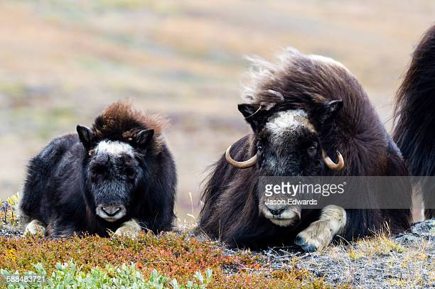 A Musk Ox calf resting on the tundra near its mother.