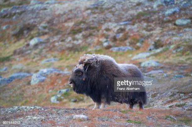 musk ox, dovrefjell-sunndalsfjella national park, norway - musk ox stock photos and pictures