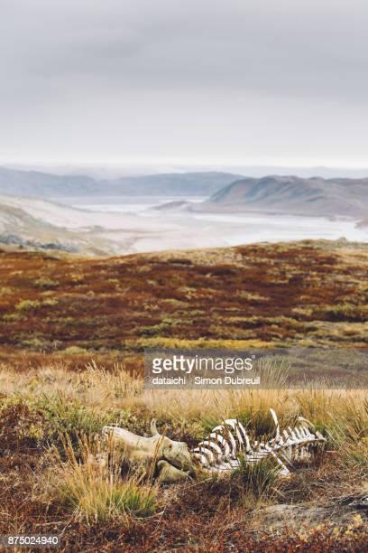 Musk ox hunting near Qinnguata Kuussua river - Kangerlussuaq