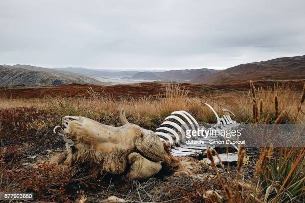 Musk ox hunting remains near Kangerlussuaq