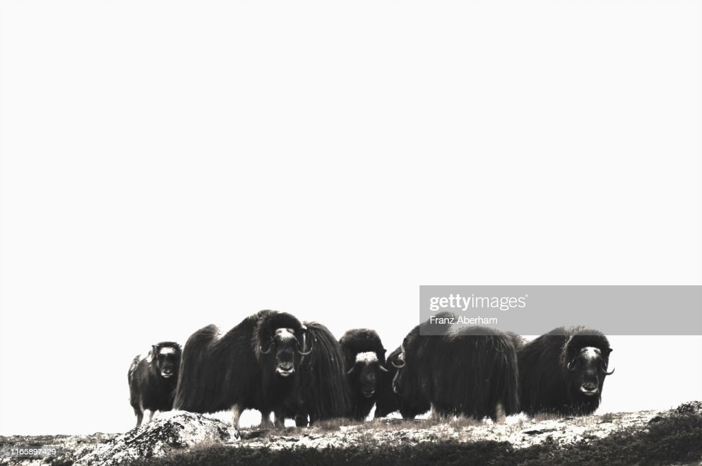 Musk ox in Dovrefjell National Park : Stock Photo