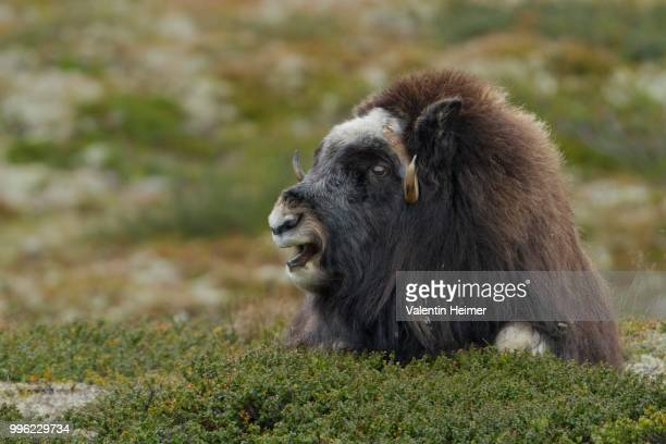 musk ox (ovibos moschatus), lying cow, dovrefjell-sunndalsfjella national park, norway - musk ox stock photos and pictures