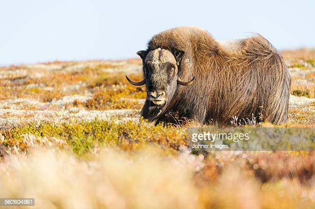 musk ox on meadow - musk ox stock photos and pictures