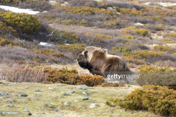 musk ox - musk ox stock photos and pictures