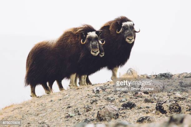 musk oxen family near kangerlussuaq - musk ox stock photos and pictures
