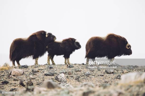 Musk oxen family near Kangerlussuaq
