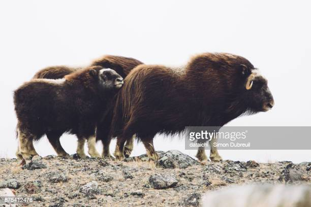 musk oxen family near kangerlussuaq - oxen stock photos and pictures