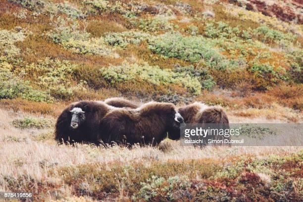 Musk oxen in autumn red tundra near Kangerlussuaq