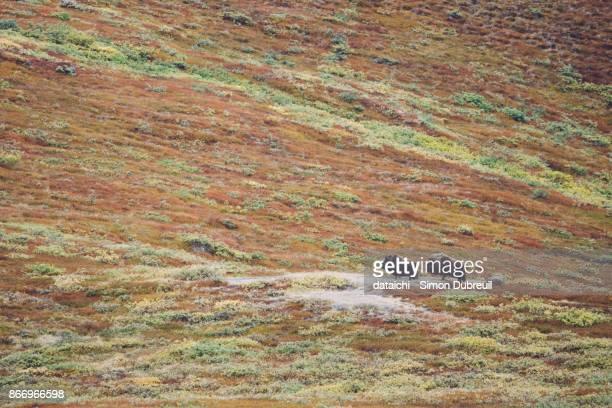 Musk oxen in Kangerlussuaq autumn red tundra