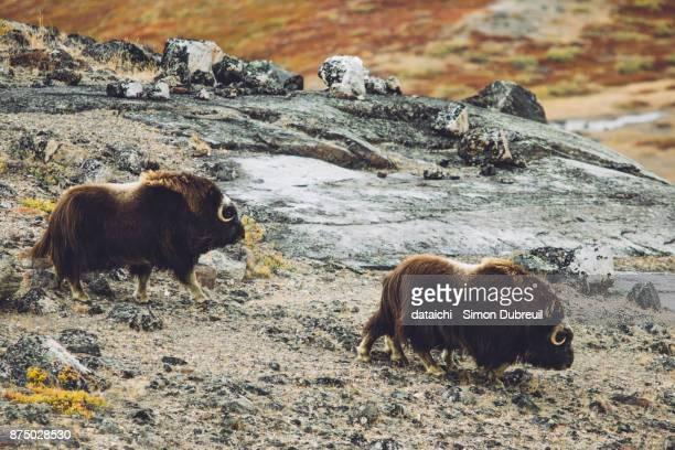 Musk oxen near Kangerlussuaq