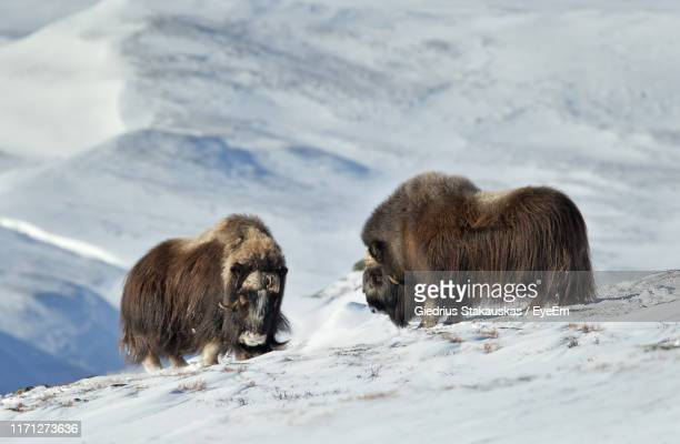 musk oxes on snowcapped mountain - musk ox stock photos and pictures
