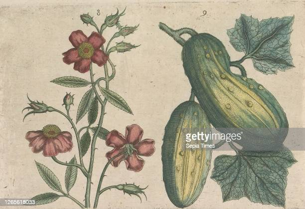 Musk rose and cucumber . Musk rose and cucumber. FIGs. 8 and 9 on a sheet hand numbered 5. In: Anselmi Boetii de Boot I.C. Brugensis & Rodolphi II....